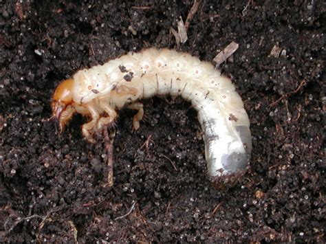 What S Wrong With My Plant Garden University Of White Grubs In Vegetable Garden