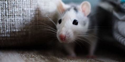 how do mice get in house how to get rid of mice in the house in a natural way 101cleaningsolutions com