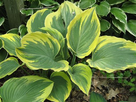 blue pot hostas varieties ivory coast
