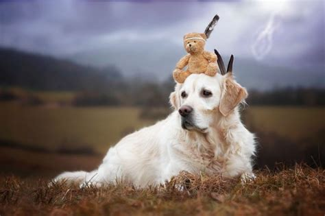 teddy golden retrievers golden retriever mali and his teddy photography by gabi stickler ego alterego