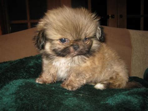 teacup pekingese puppies for sale pekingese page 6 the universe of animals