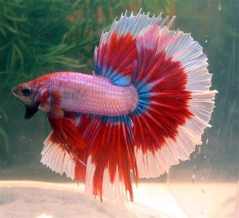 betta colors betta colors cambodian butterfly hm bred by