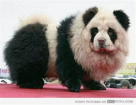 that looks like a panda the tibetan mastiff that looks like a panda it dogs the o jays