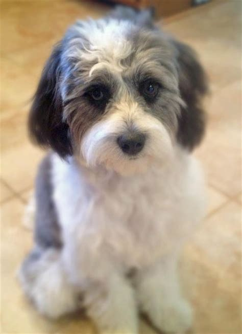 shih tzu poodle mix for sale rosie the poodle mix dogs daily puppy