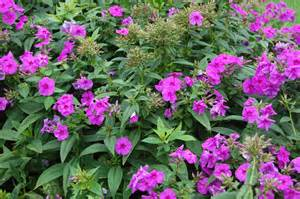 Purple Flowering Shrubs Australia - phlox paniculata landscape architect s pages