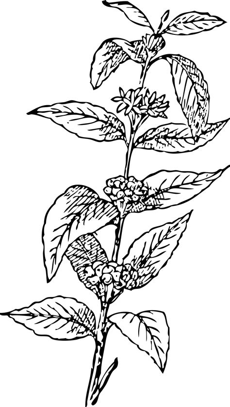 doodle pohon coffee plant drawing www pixshark images galleries