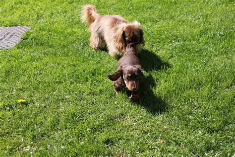 dachshund puppies for sale in ms miniature haired dachshund puppies for sale in mississippi breeds picture