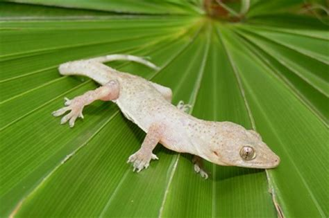 house gecko care house gecko care guide victor martin s awesome website