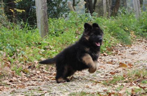 cuccioli in casa pastore tedesco a pelo lungo cuccioli di casa falcone