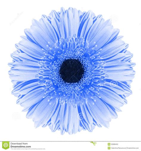 wallpaper blue flowers white background blue gerbera flower stock photography image 32898452