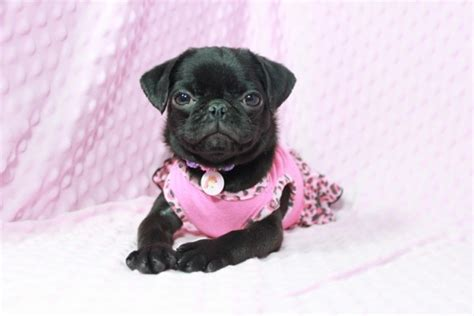 pug breeders las vegas miniature pug puppies by breeder