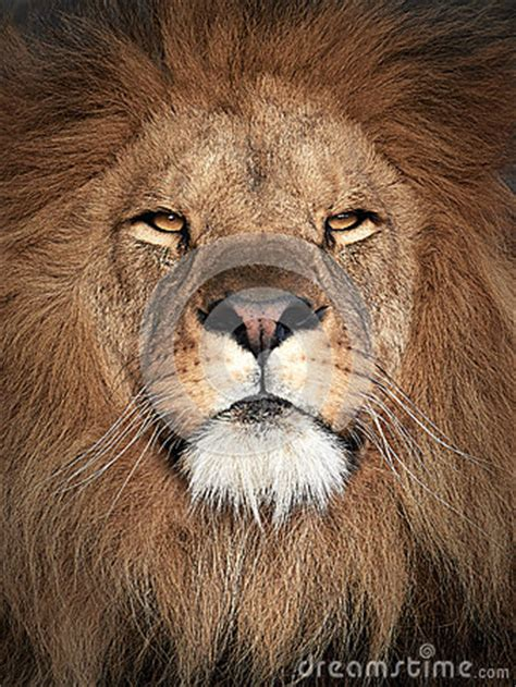 lion panthera leo stock photo image
