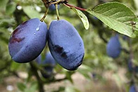damson fruit trees shropshire prune damson trees ashridge nurseries