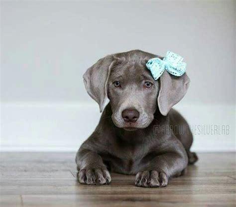 pictures of weimaraner puppies 17 best ideas about weimaraner puppies on