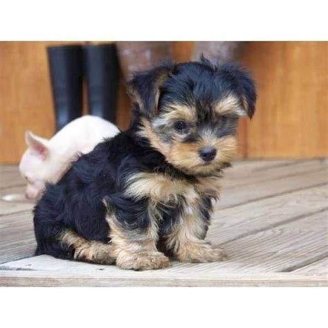 tiny teacup yorkie prices 25 best ideas about teacup yorkie price on teacup yorkie yorkie puppies