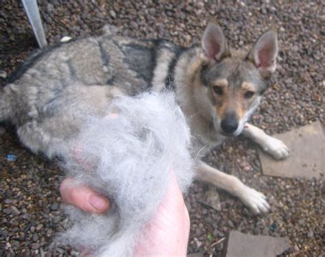 German Shepherds Shedding by 3 Simple Steps To Your German Shepherds Shedding