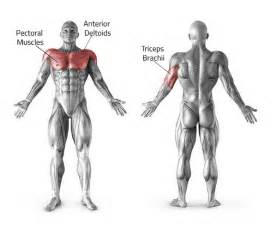 muscles used for bench press barbell bench press bodybuilding india
