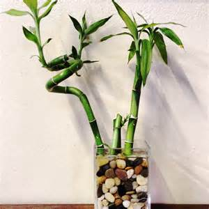 bambus vase lucky bamboo als zimmerpflanze pflegen