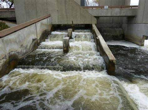 the fish ladder a steelhead jumping in the fish ladder picture of fish ladder grand rapids tripadvisor