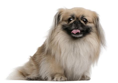 pekingese puppy pekingese dogslife breeds magazine