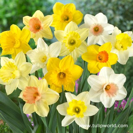 what color is daffodil mixed daffodils 25 bulbs assorted colors daffodil