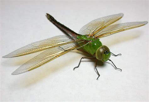 green dragonfly l species moist woods ecosystem green darner dragonfly