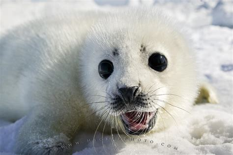 white seal pup free wallpaper background white coat harp seal baby pup