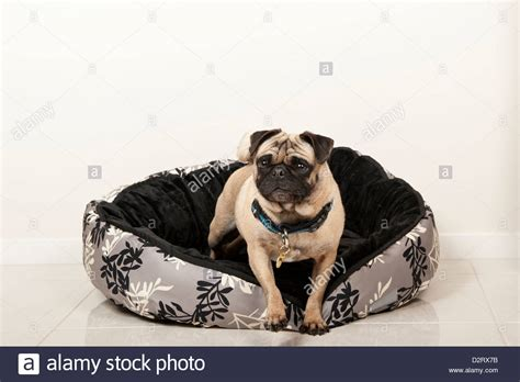 free pug puppies in ct pug in bed stock photo royalty free image alamy beds and costumes