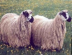 masham sheep petmapz  dr katz  veterinarian