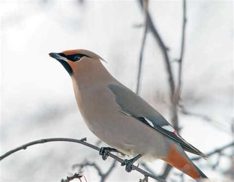 me boomer and the vermilon river bohemian waxwings of