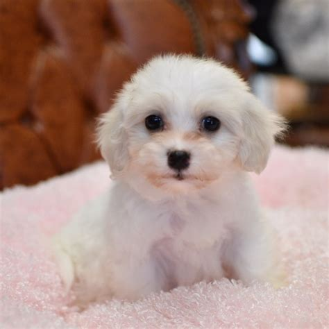 maltese puppies for sale los angeles view ad maltese puppy for sale california los angeles usa