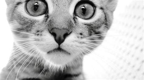 wallpaper cat white black and white cat wallpapers wallpaper cave