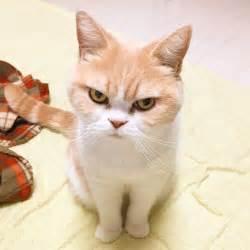 grumpy cat clipart mad cat pencil and in color grumpy