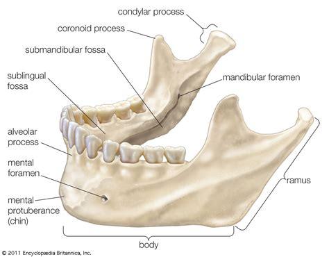 mandible diagram mandible lower jaw