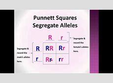 Bio-Lect!: Punnett Squares P, F1, & F2 generations - YouTube F1 Generation Punnett Square