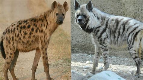 hyena vs the gallery for gt brown hyena vs spotted hyena