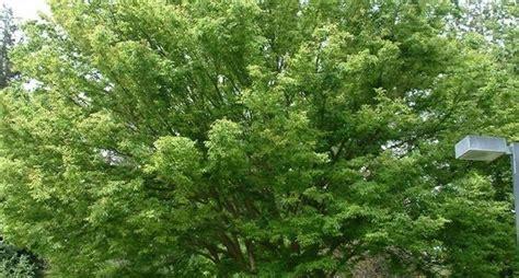 alberi da giardino sempreverdi da ombra piante da ombra sempreverdi zt43 187 regardsdefemmes