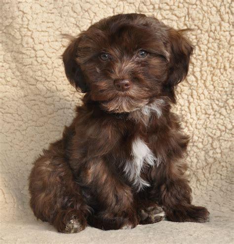 brown havanese puppies brown havanese puppies www imgkid the image kid has it