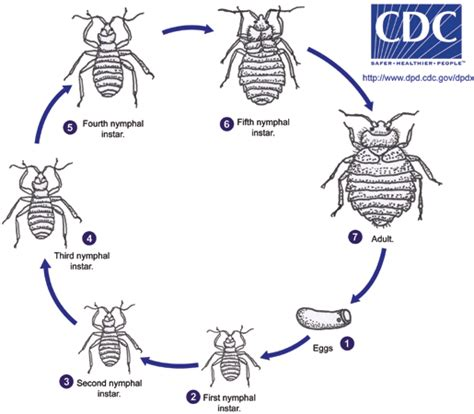 bug cycle diagram zol 316 general parasitology course page