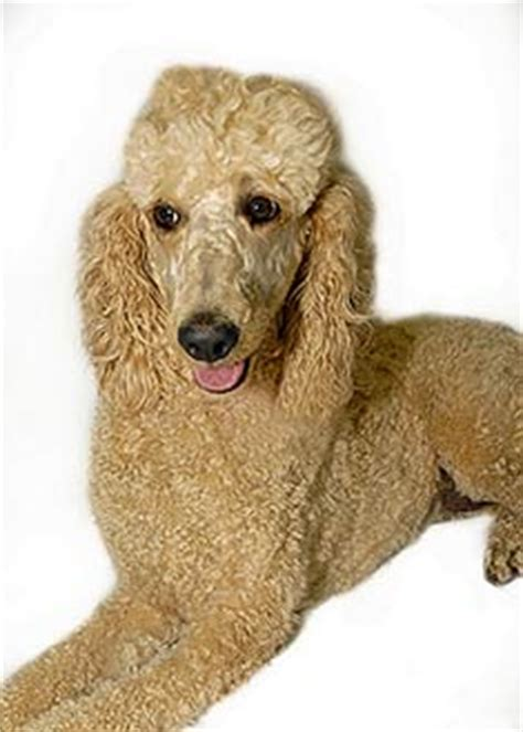lifespan of miniature poodle poodle lifespan standard poodle photo