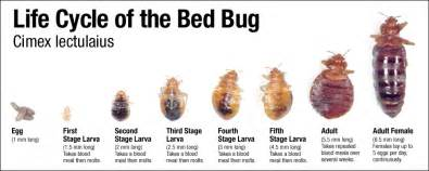 white bed bugs herbal health care bed bug repellents