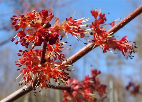 maple flowers against the sky maple tree flowers from our flickr