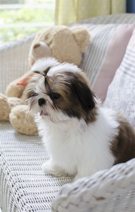 akc shih tzu breeders where can i buy a shih tzu assistedlivingcares