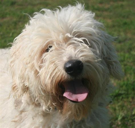 mini goldendoodles colorado mini goldendoodles colorado river doodles home raised