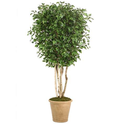 trees in a pot 10 topiary ficus tree in large tuscan brown fiberglass
