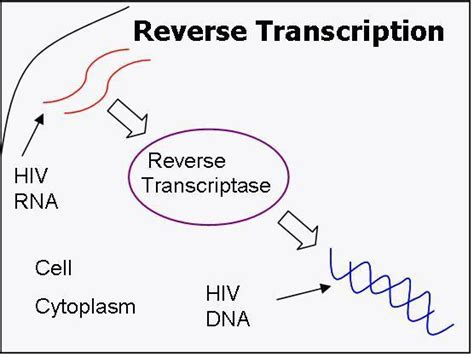 transcriptase synthesizes a dna molecule from an rna template presentation name on emaze