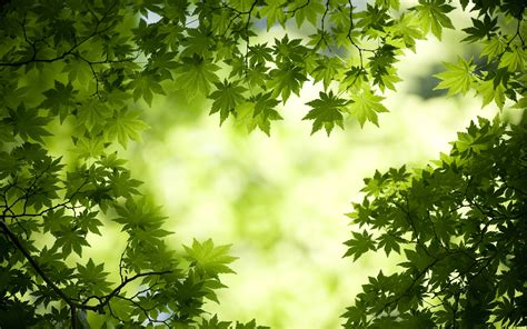 wallpaper with green leaves green maple leaves wallpapers hd wallpapers id 11787