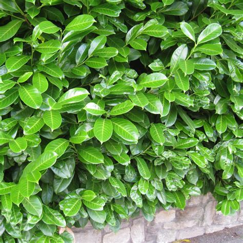 prunus laurocerasus rotundifolia hedge 5 prunus laurocerasus rotundifolia potted plants hedging