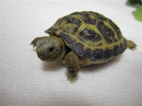 Russian Tortoises | indiscriminate postings russian tortoise soup