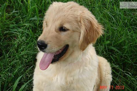 golden retriever puppies nevada akc all american golden retriever puppy golden retriever puppy for sale near